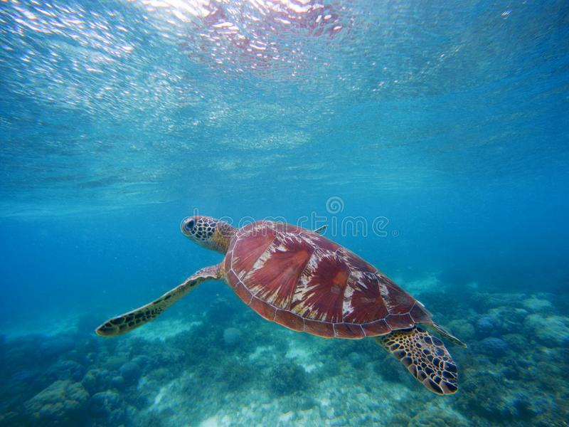 Sea turtle swims up to take breath on sea water surface. Snorkeling in shallow water of tropical lagoon. royalty free stock photos
