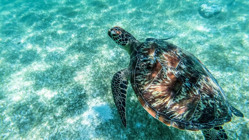 Sea turtle swims in sea water, Olive green sea turtle closeup. Wildlife of tropical coral reef, Aquatic animal underwater photo stock photos