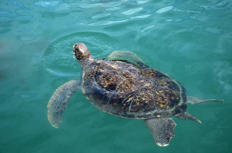 Sea turtle swims in sea water. stock image