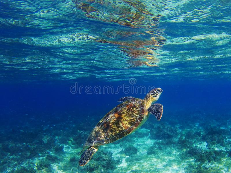 Sea turtle in tropical lagoon. Marine turtle diving for breath. Sea tortoise snorkeling photo. royalty free stock photos