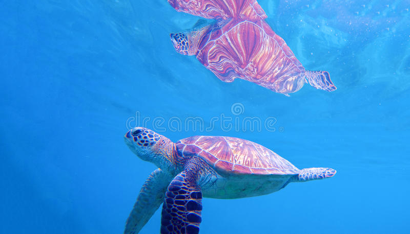Sea turtle under water surface. Swimming turtle in blue seashore. Sea tortoise snorkeling photo royalty free stock photography