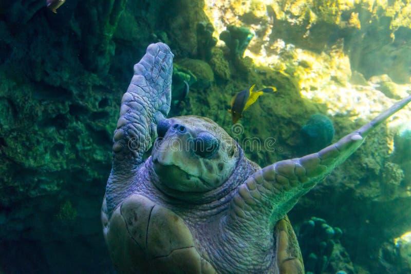 Sea Turtle Underwater stock photography