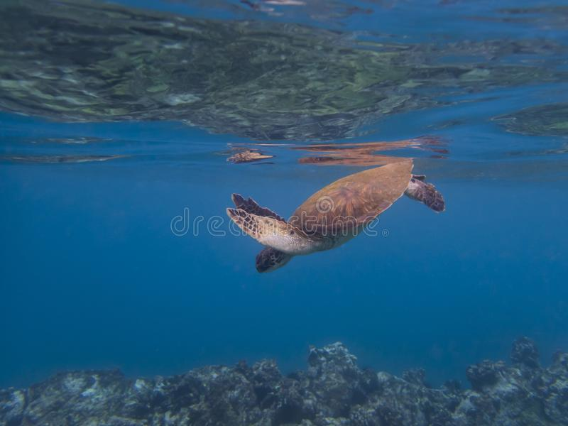 Sea Turtle Underwater Clear Blue Ocean Reef Below Surface Above stock photography