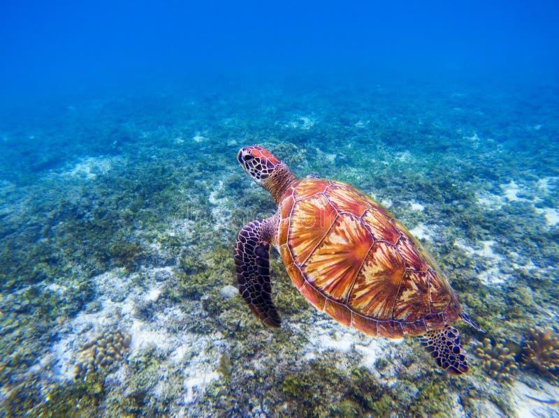 Sea turtle underwater closeup. Green sea turtle closeup. Endangered species of tropical coral reef. Tortoise photo. Tropic seashore ecosystem. Summer travel stock image