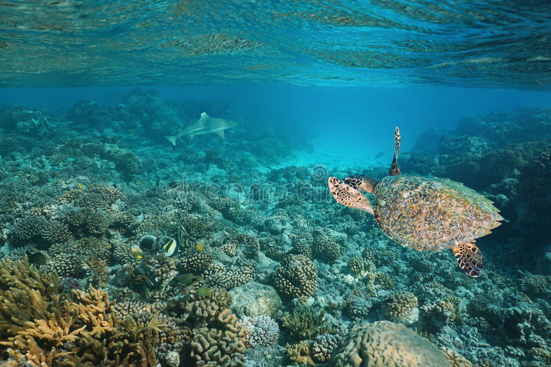 Sea turtle underwater coral reef Pacific ocean royalty free stock photography