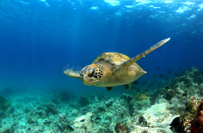 Sea turtle underwater royalty free stock images