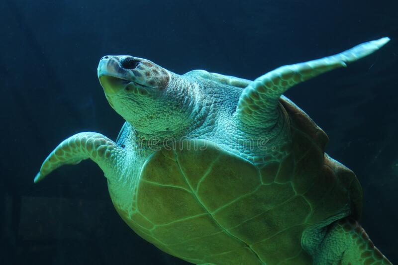 Sea turtle underwater royalty free stock image