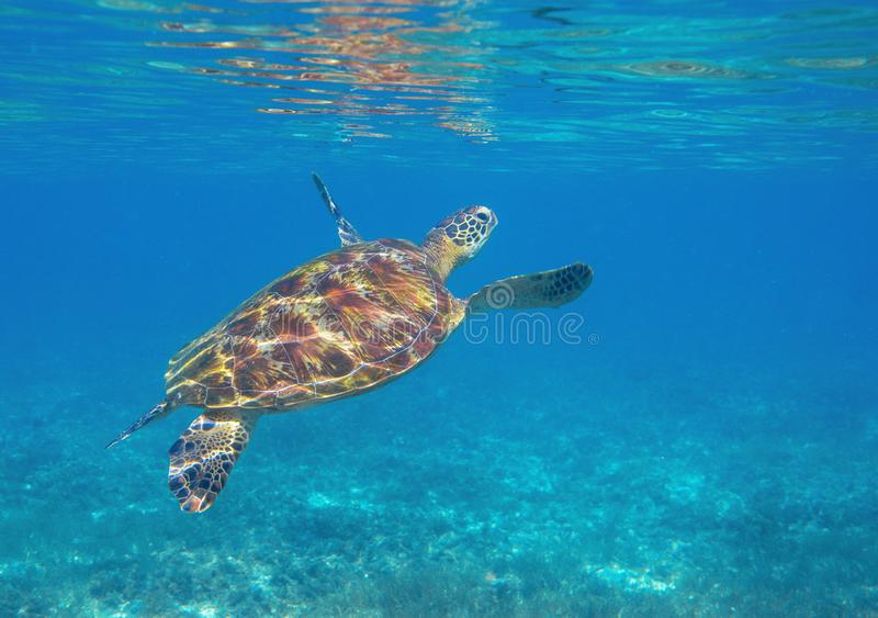 Sea turtle by water surface. Green turtle underwater photo. Wild marine animal in natural environment stock photos