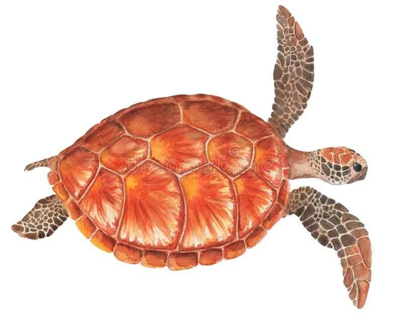 Sea turtle watercolor illustration on white background. Marine tortoise drawing. royalty free illustration