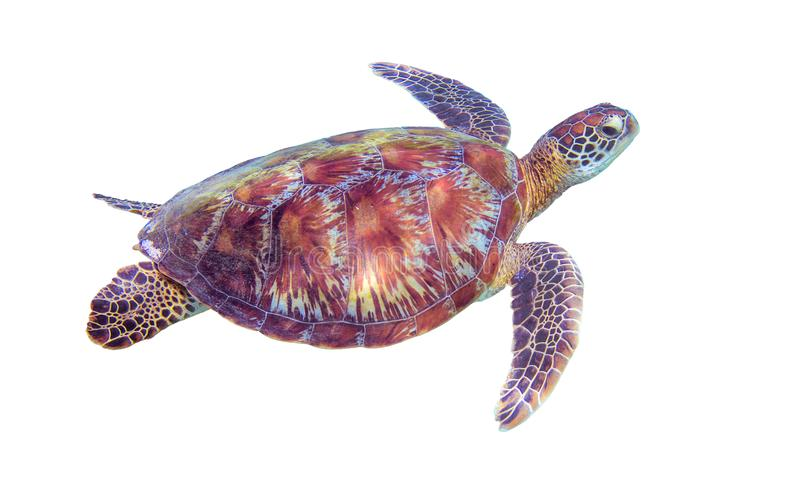 Sea turtle on white background. Marine tortoise isolated. Green turtle photo clipart. Marine animal of tropical seashore. Coral reef ecosystem inhabitant royalty free stock photos