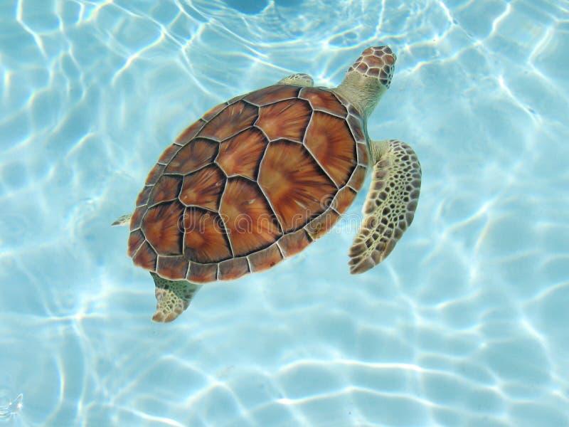 Sea_turtle02 foto de archivo
