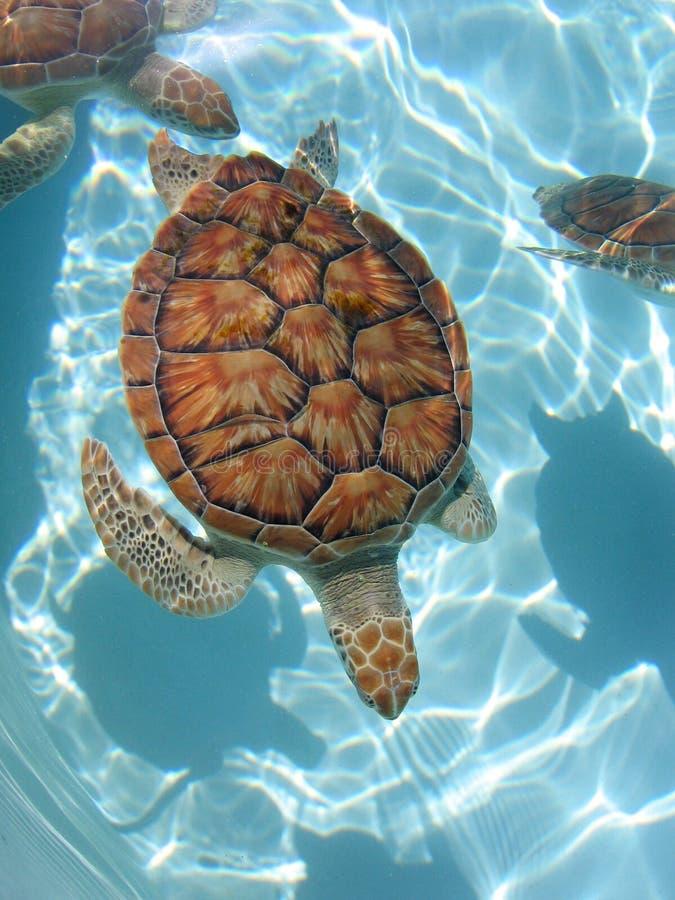 Sea_turtle03 stock image