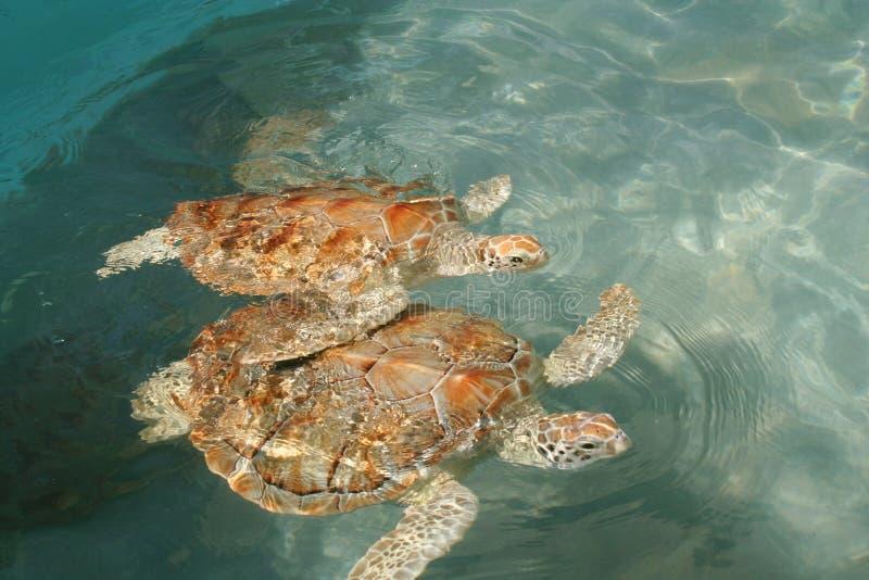 Sea turtles stock photography