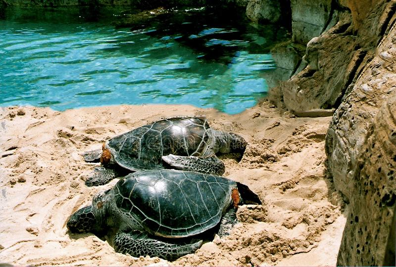 Sea Turtles Lounging on the Sand. Near the Water stock photos