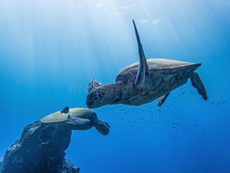 Sea Turtles Underwater with Sun Rays in Blue Ocean. Two turtles swimming in clear blue ocean with rays of sunlight coming from above royalty free stock photography