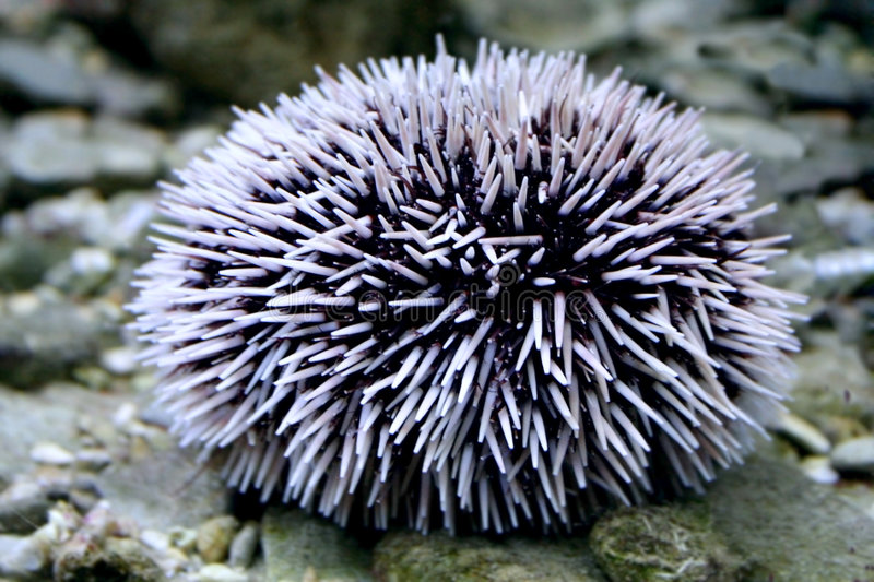 Sea-urchin. Sea Urchin on the beach royalty free stock images