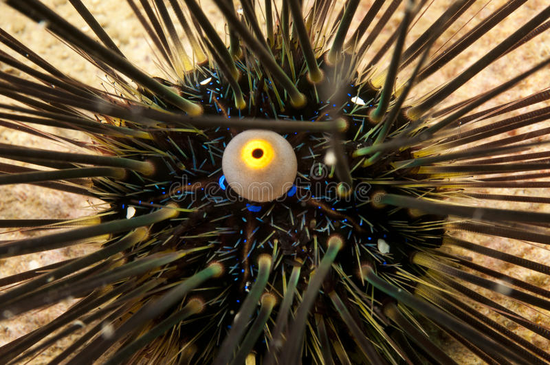 Download Sea urchin stock photo. Image of spines, anus, animal - 19846918