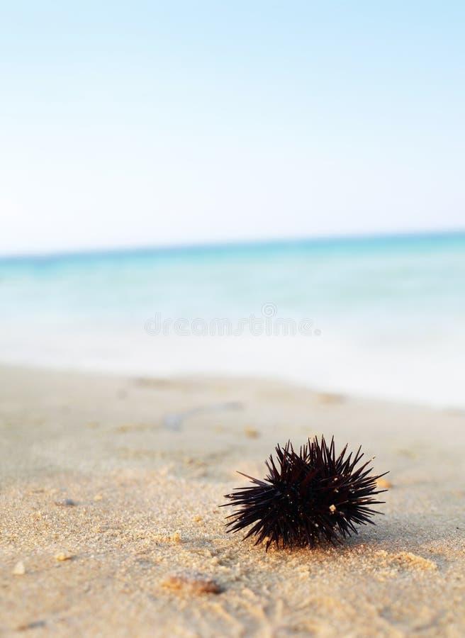 Download Sea urchin stock photo. Image of underwater, background - 26239396