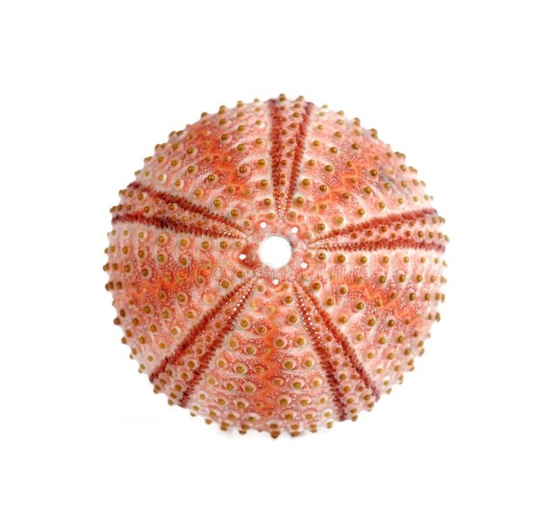 Free Sea Urchin Royalty Free Stock Photography - 8320257