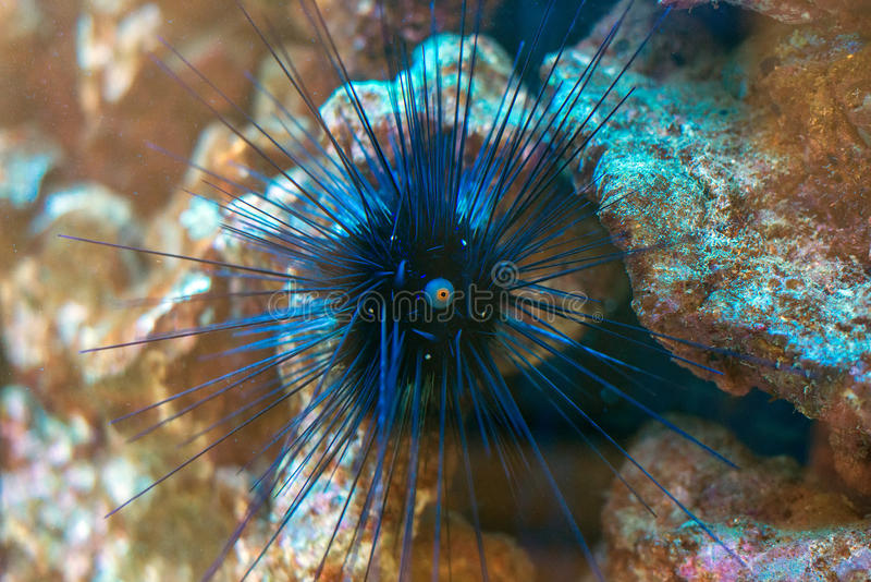 Sea urchin. royalty free stock photo