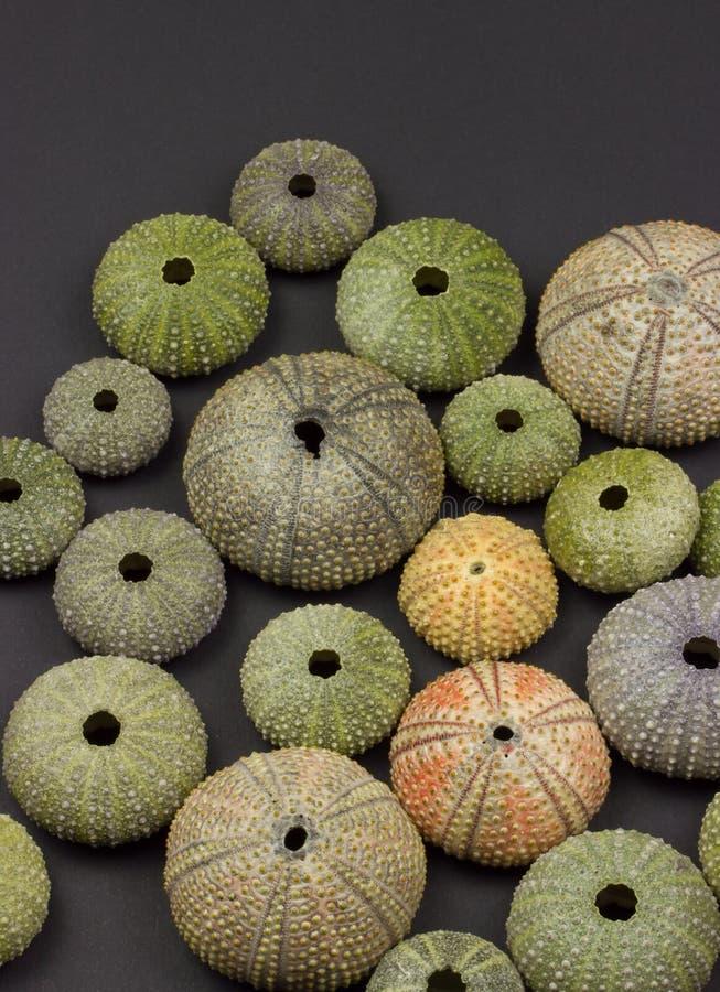 Download Sea urchin stock image. Image of seaside, many, marine - 29806533