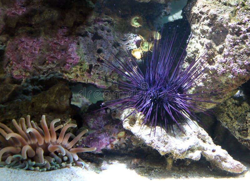 Sea urchin isolated close - up view. Sea urchin isolated on the sea bottom close - up view stock photography