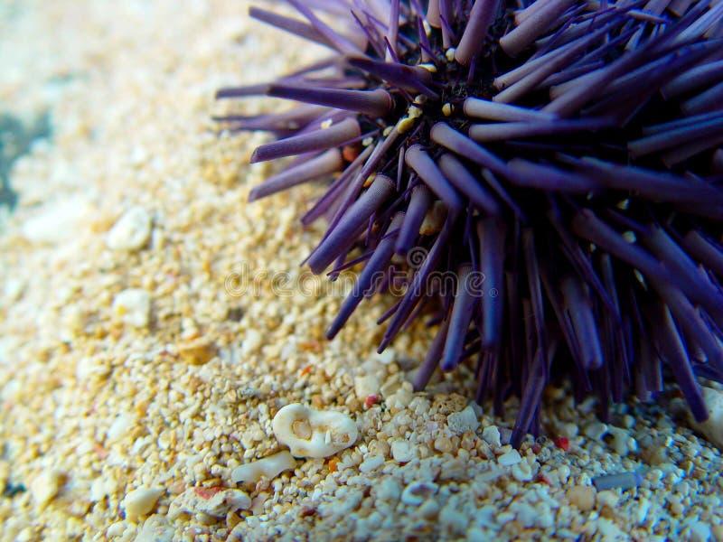 Sea Urchin, Mauritius stock photography