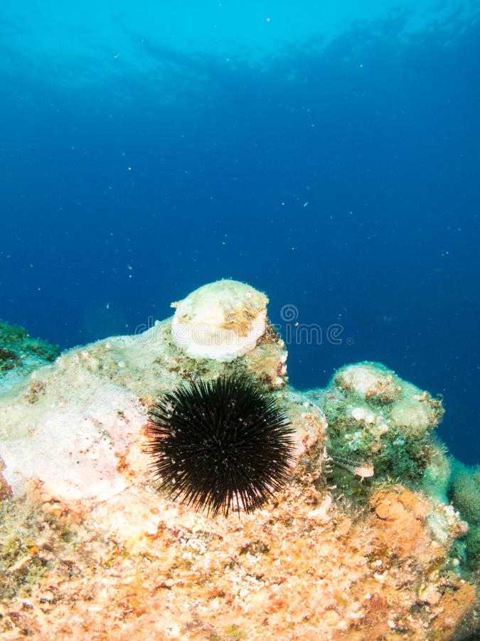 Sea urchin with blue background royalty free stock image