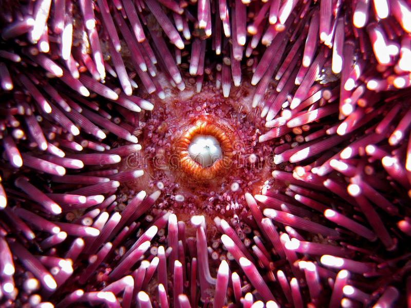 Sea Urchin Mouth Royalty Free Stock Image