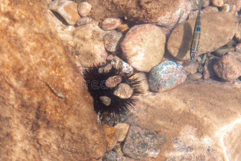 Sea Urchin on the rocks under water royalty free stock images