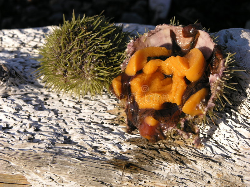Sea urchin row 1 stock image