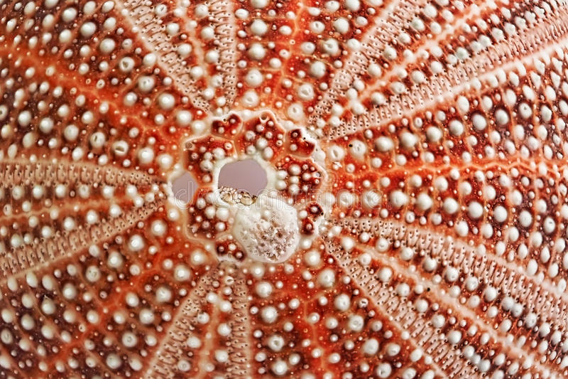Sea Urchin Shell - Patterns In Nature. Close-up of a sea urchin shell detailing patterns in nature stock images