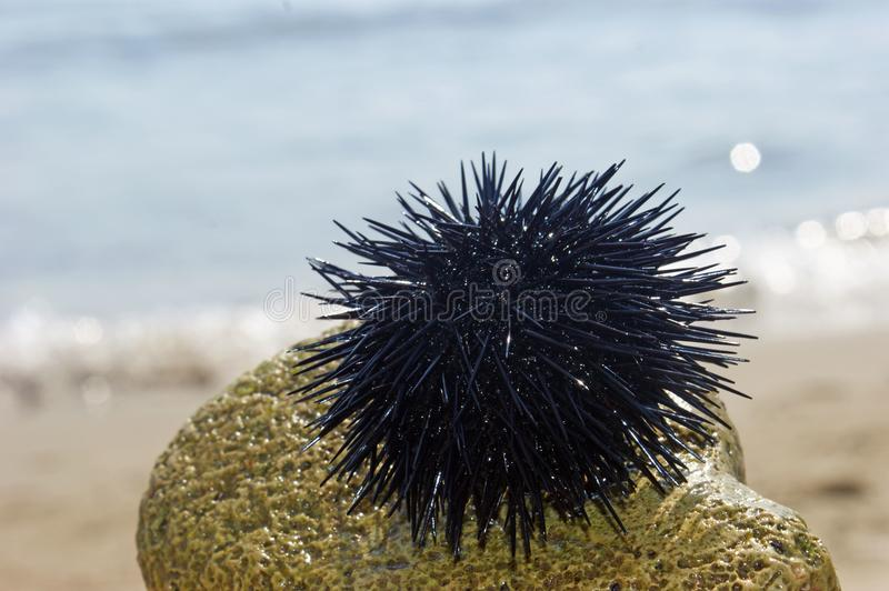 Sea urchin on a stone by the sea stock photo