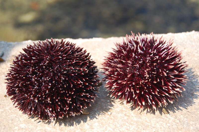 Download Sea urchins stock photo. Image of recreation, islands - 14574676