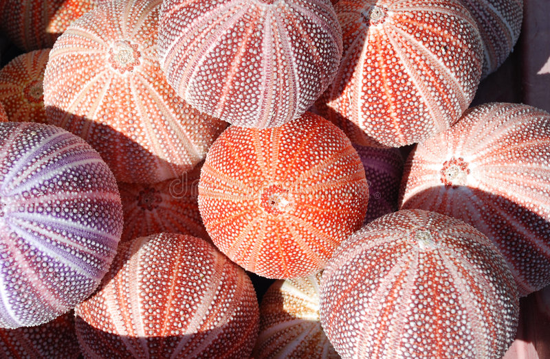 Download Sea urchins stock image. Image of travel, shore, backgrounds - 4703141