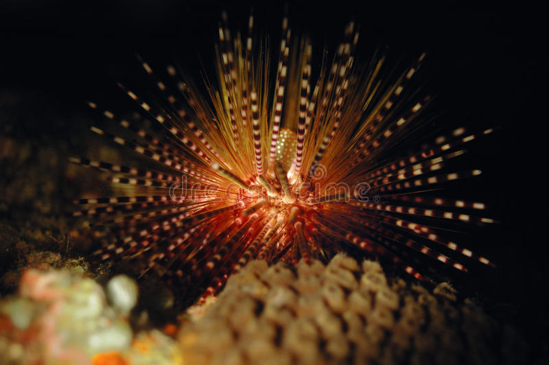 Sea urchins aceh indonesia scuba diving. Diver royalty free stock image