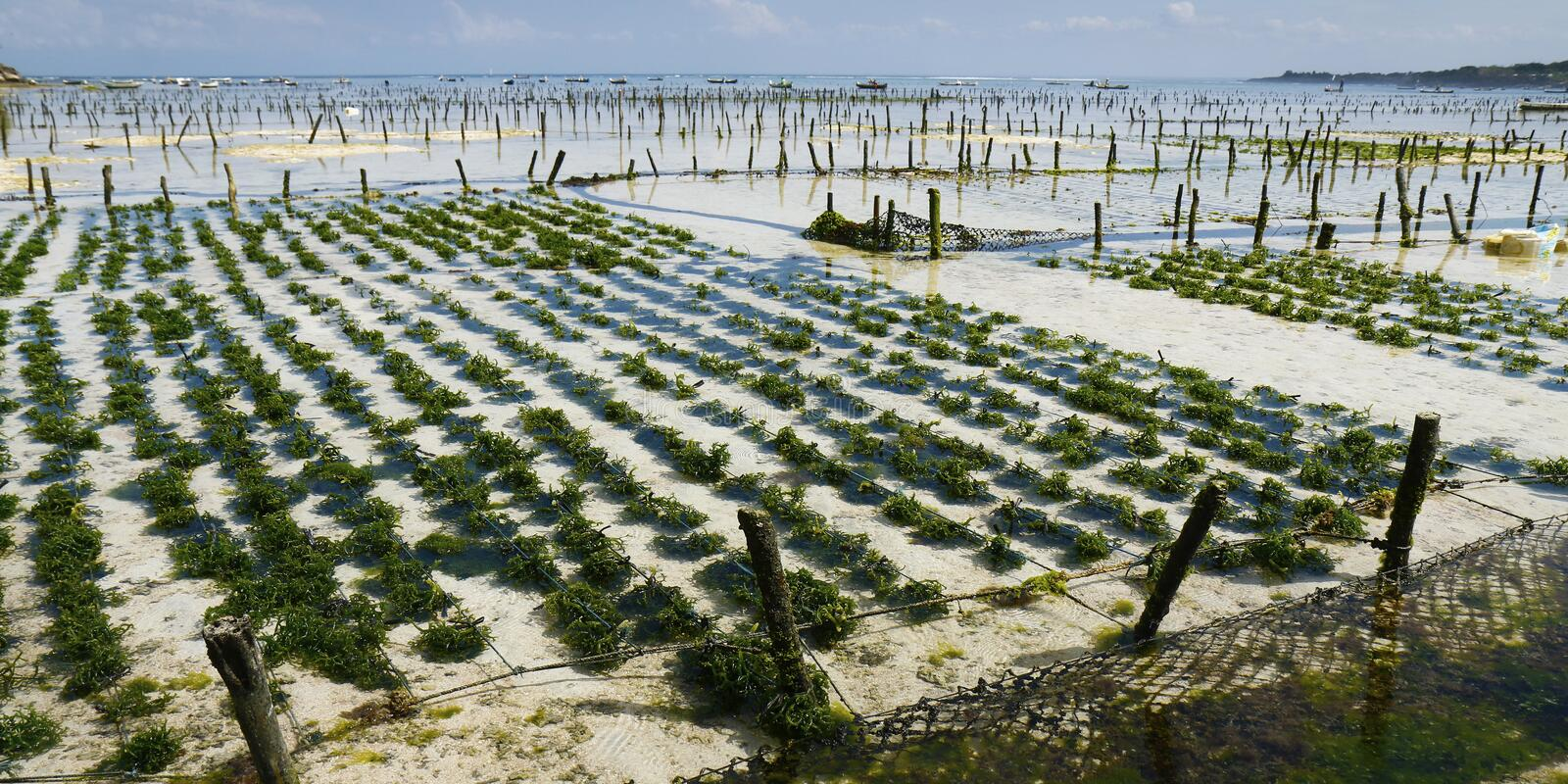 Sea weed in under water plantation stock photography