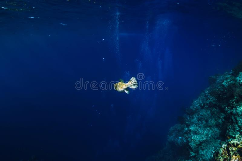 Sea wild world in underwater with box fish in blue ocean. Sea wild world in underwater with box fish in ocean stock images