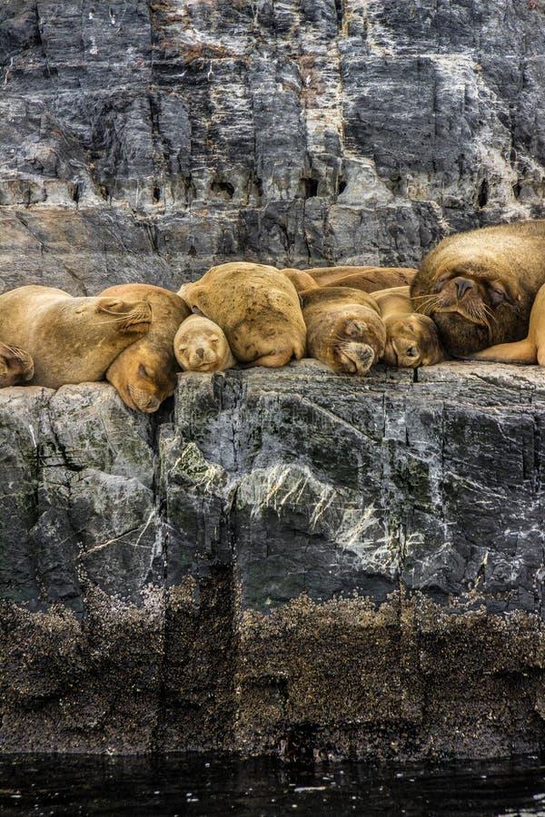 Sea wolf stock image