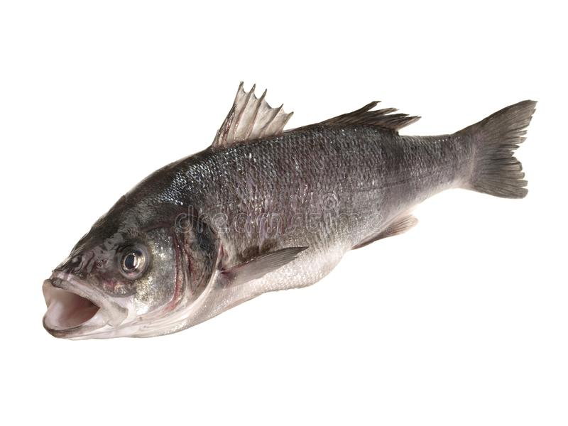 Sea Wolf - Fish royalty free stock photography