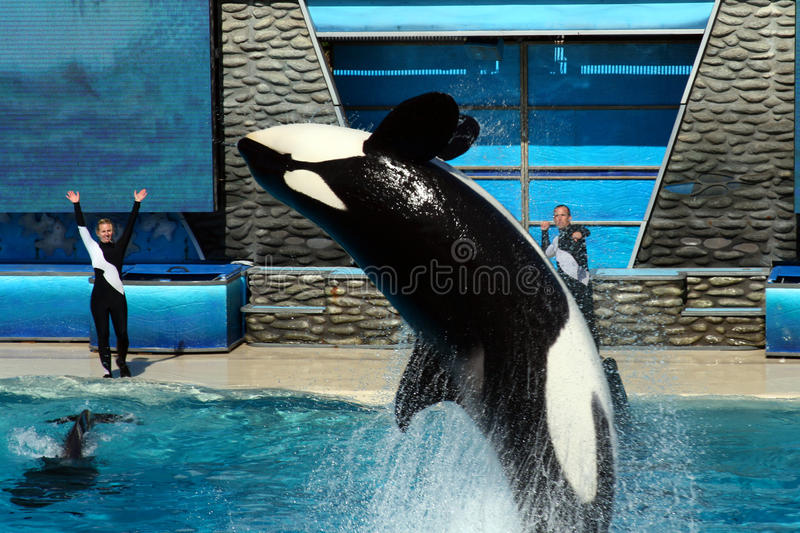 Sea World San Diego - Orca Back Flip! royalty free stock photography