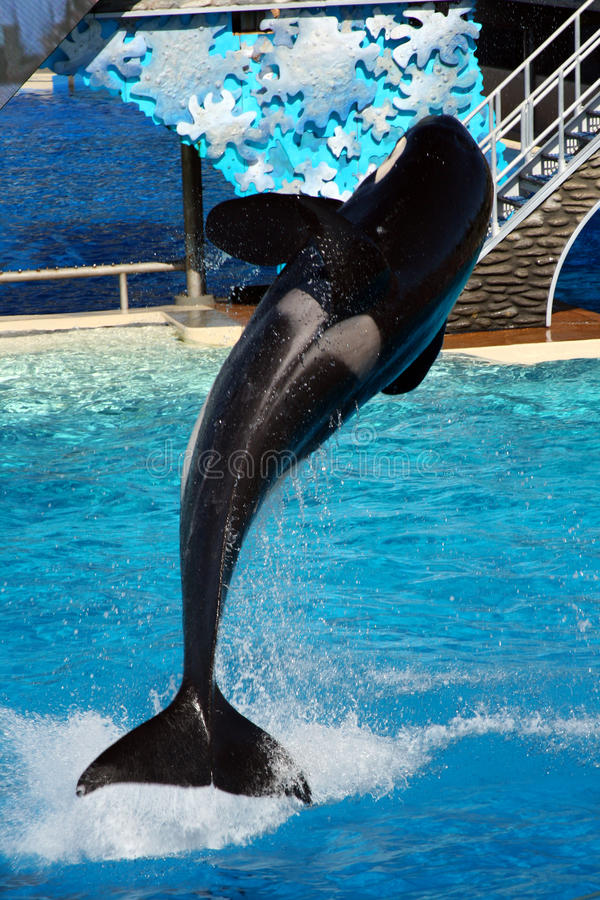 Sea World San Diego - Orca Leaping! royalty free stock image