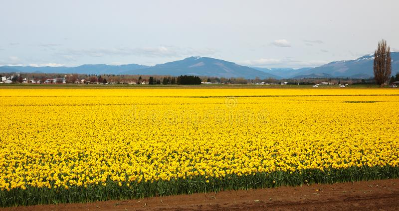 Daffodil Fields in Skagit Valley. Sea of yellow daffodils illuminate field in Mount Vernon, Washington royalty free stock photography