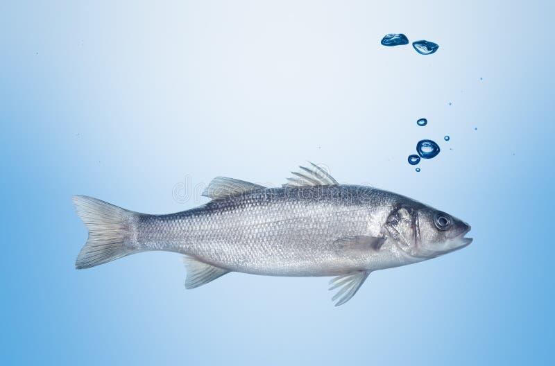 Seabass dos peixes sob a água fotos de stock