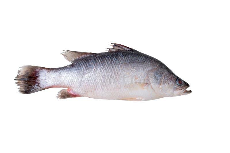 Seabass för ny fisk som isoleras på vit arkivbilder