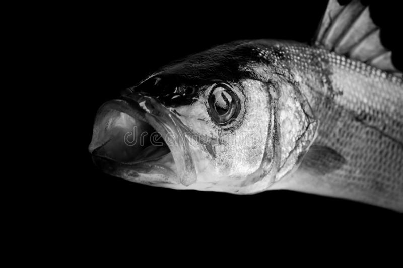 Seabass fish on black background royalty free stock photography