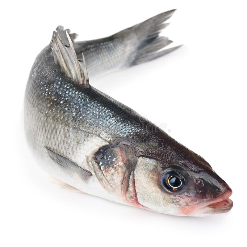 Seabass fish. Seabass, Dicentrarchus labrax. On the white background stock photography
