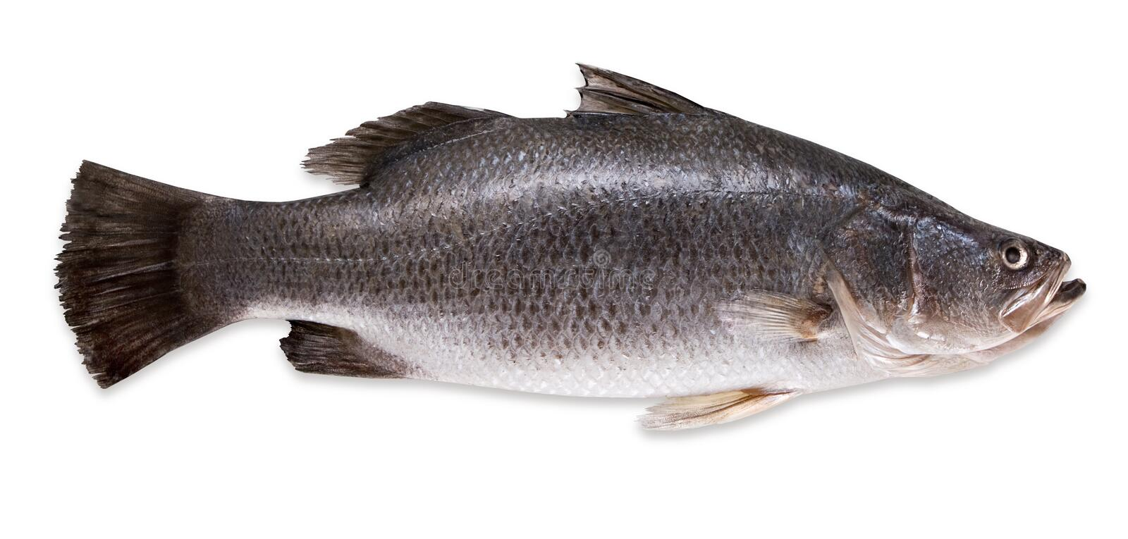 Seabass. Fresh seabass fish on a white background stock images