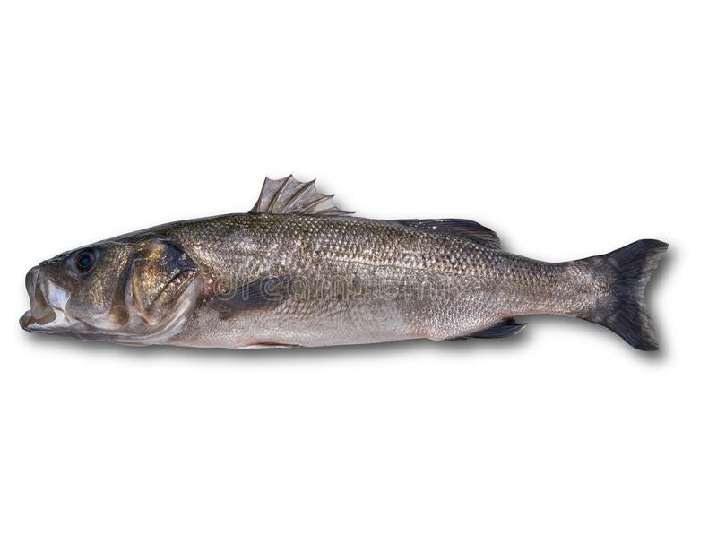 Seabass robalo fish wild big size. Sea bass isolated in white royalty free stock image