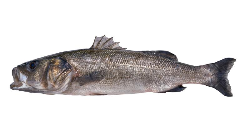 Seabass robalo fish wild big size. Sea bass isolated in white stock images